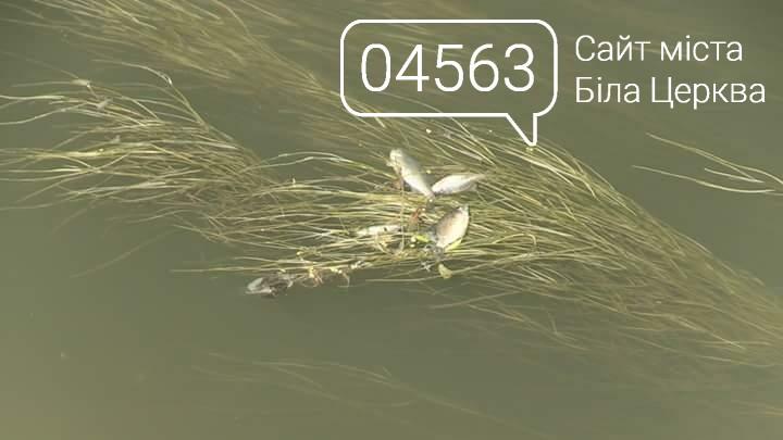 Масова загибель риби в річці Протока