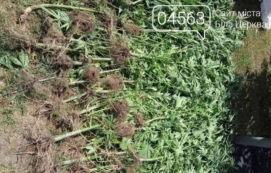 На Київщині чоловік виростив плантацію коноплі у теплиці