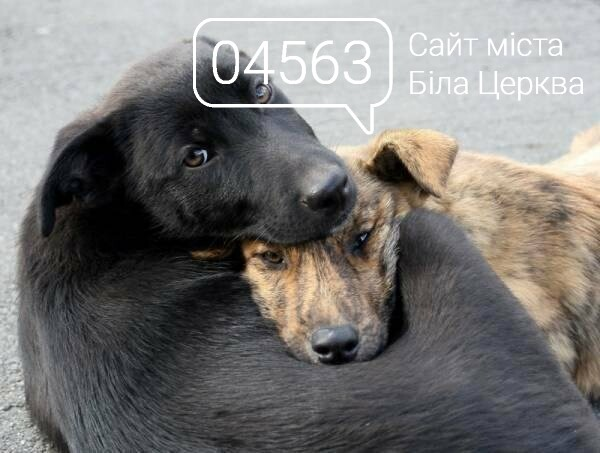 У Білій Церкві шукають волонтерів для підрахунку безпритульних тварин