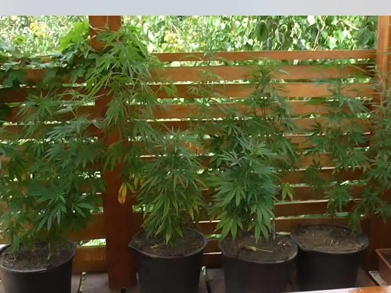Сколько можно выращивать марихуаны анализ на выявление марихуаны