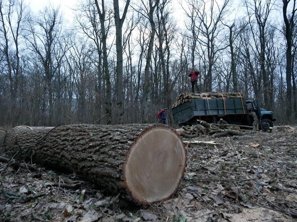 Фурсівська сільська рада надала ордер на вирубку 830 дерев у мікрорайоні Гайок , фото-5
