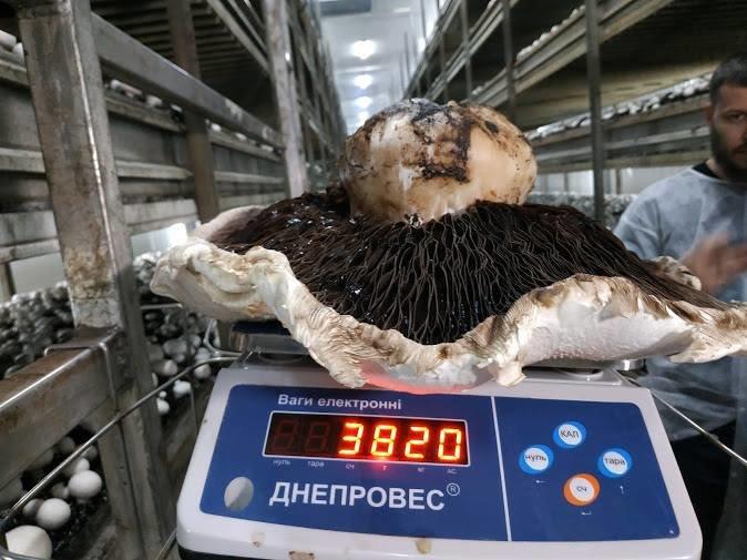 Гриб вирощений на Білоцерківщині, потрапив у Книгу рекордів України, фото-2