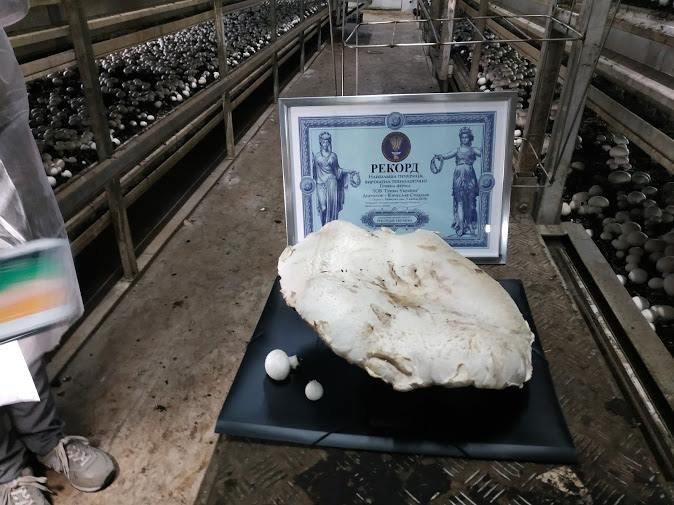 Гриб вирощений на Білоцерківщині, потрапив у Книгу рекордів України, фото-3