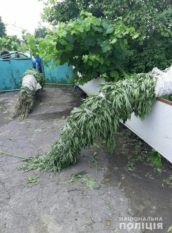 Житель Білоцерківщини влаштував на своєму подвір'ї плантацію конопель , фото-3