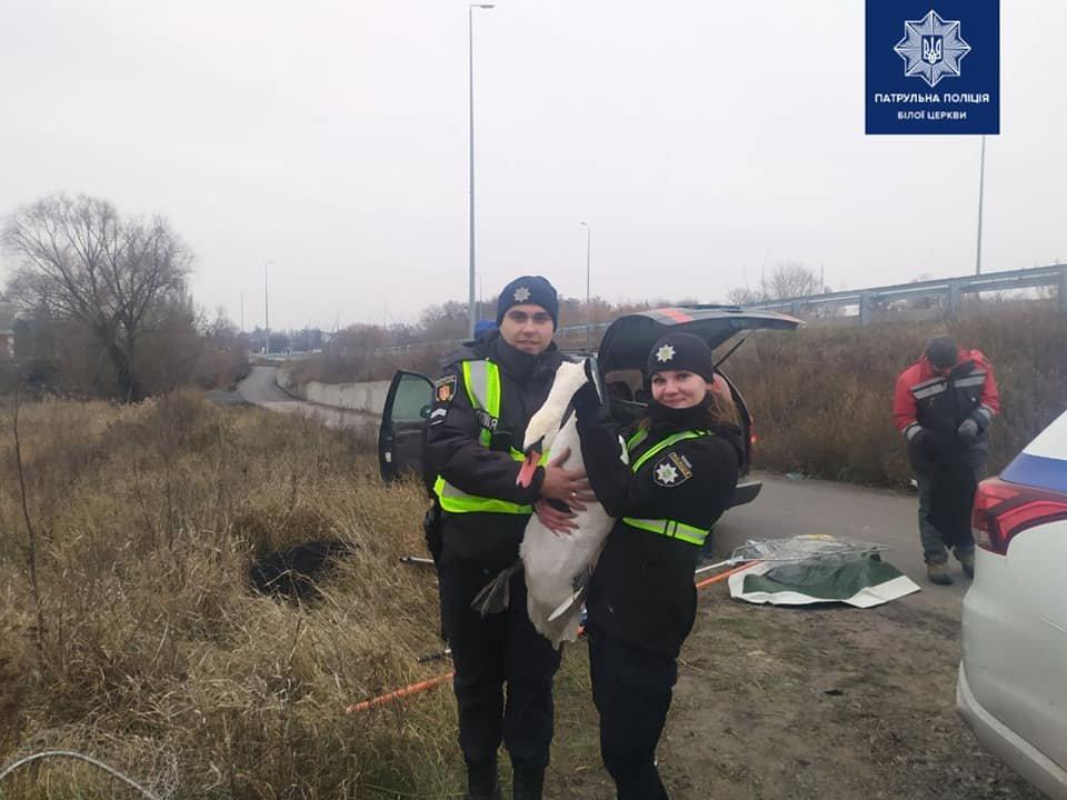 Білоцерківські патрульні допомогли врятувати безпорадного лебедя, фото-1