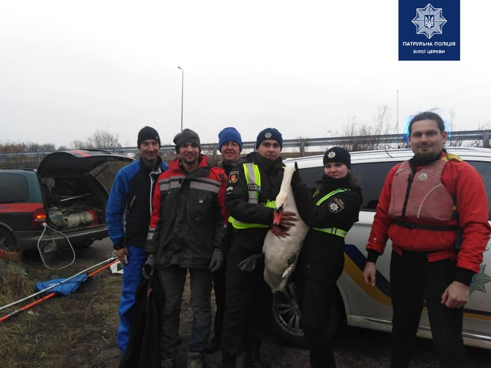 Білоцерківські патрульні допомогли врятувати безпорадного лебедя, фото-2