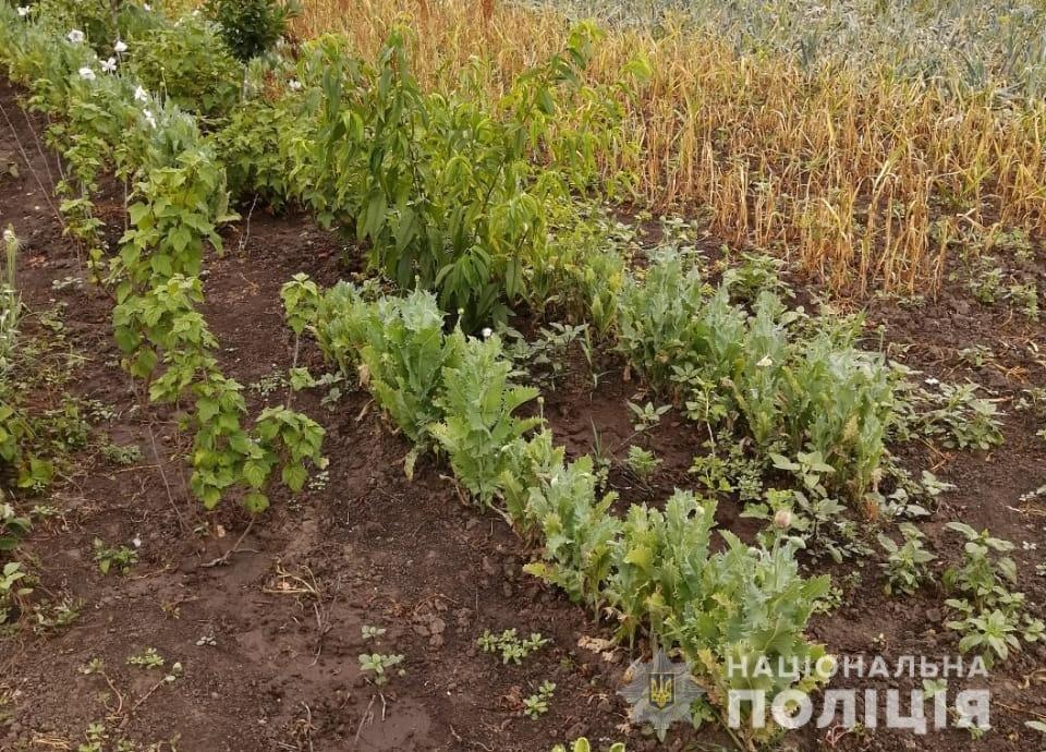 На Київщини поліціянти виявили понад 400 рослин снодійного маку, фото-4
