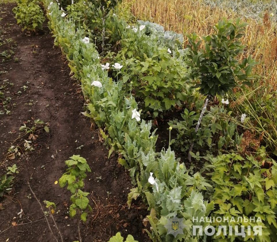 На Київщини поліціянти виявили понад 400 рослин снодійного маку, фото-2