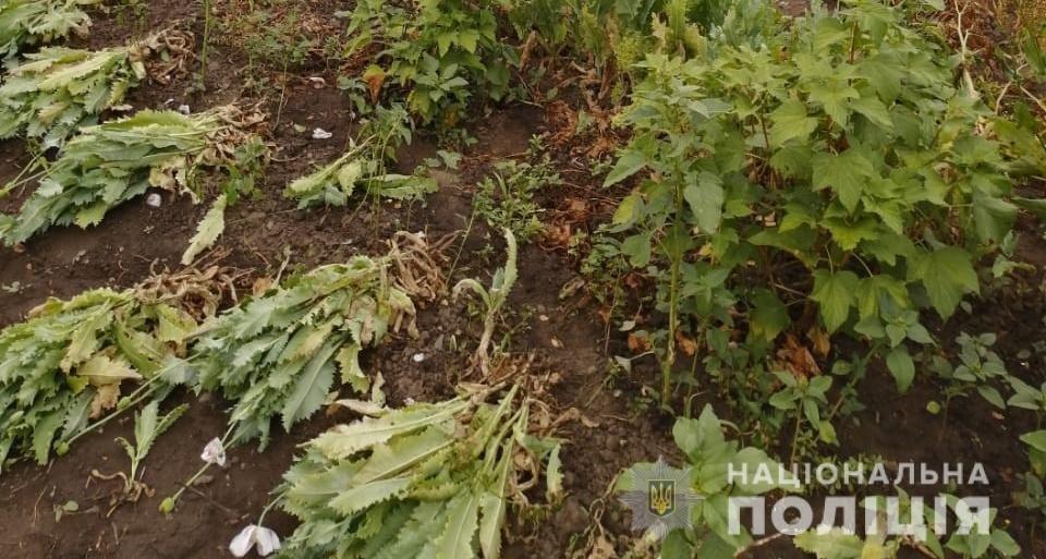 На Київщини поліціянти виявили понад 400 рослин снодійного маку, фото-3