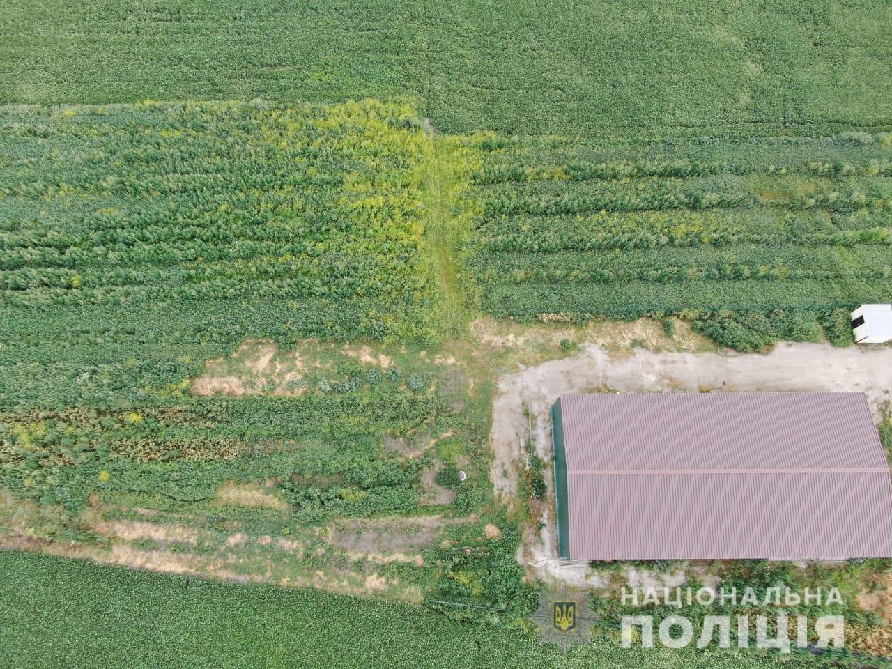 У Фастівському районі поліція виявила посів конопель на площі 0,6 га, фото-1